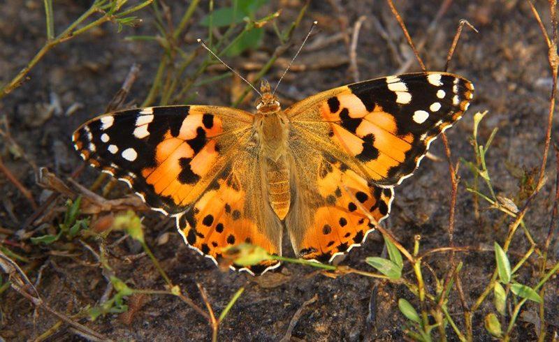 Una mariposa recorre 12.000 kilómetros y atraviesa dos veces el Sáhara en busca de buen clima